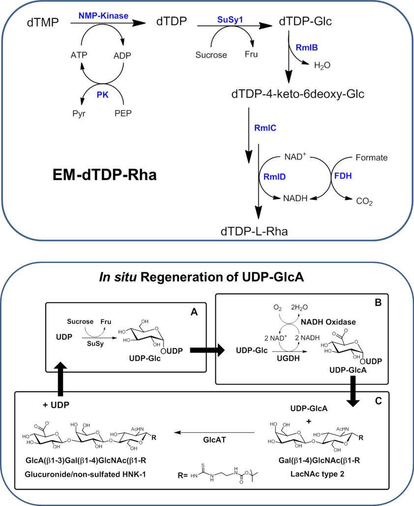 Synthesis of dTDP-Rhamnose and In-situ Regeneration of UDP-Glucuronic Acid