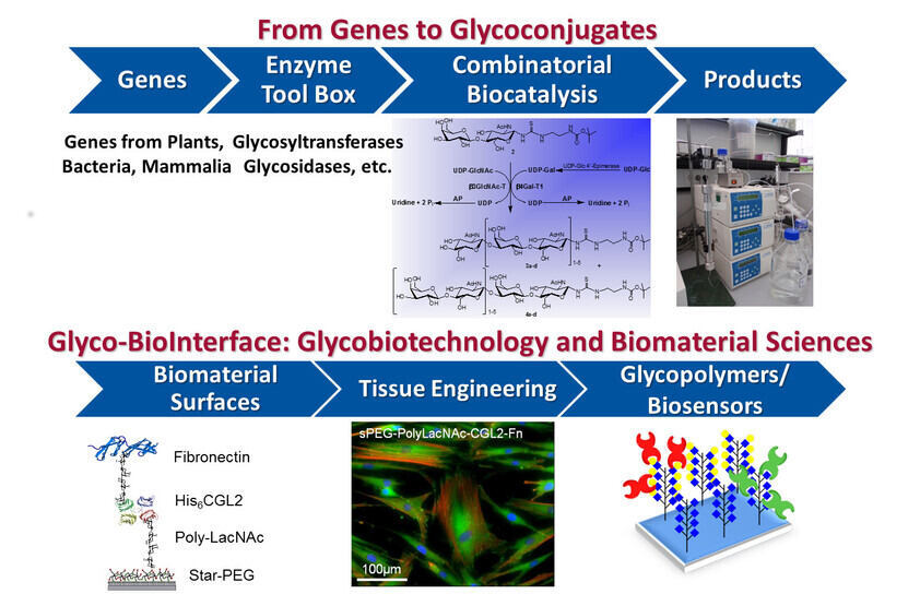 From Genes to Glycoconjugates
